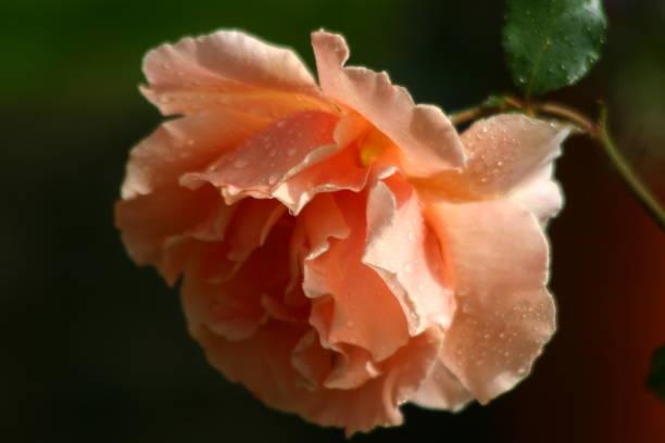 Glitzernde Rose – Foto