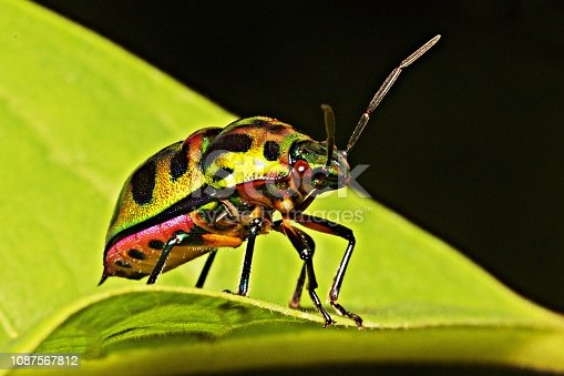 1054407300istockphoto Glitter bug on green leaf. 1087567812