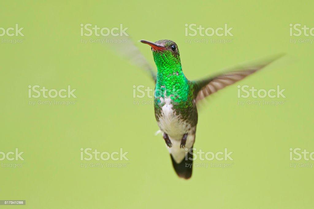 Glittering-throated Emerald (Amazilia fimbriata) flying in mid-air, Itanhaem, Brazil stock photo