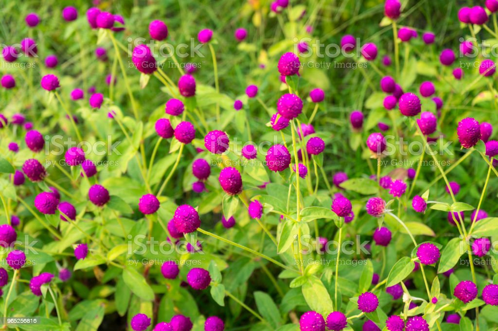 Globe Amaranth flower (or Bachelor Button, Globe Flower) in garden royalty-free stock photo