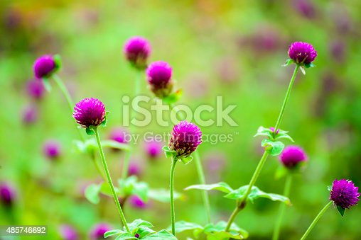 Close up of purple Globe Amaranth flowers or Bachelor's Buttons
