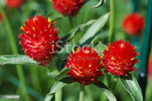 Cluster of Strawberry Fields Globe Amaranth also known as Gomphrena Haageana. The flowers are a bright red color with yellow tipped tufts which gives the resemblance to strawberries. They are surrounded by many green leaves. This is a detailed close-up of three flower heads.