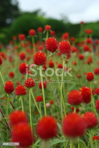 Globe amaranth, Gomphrena haageana 'Strawberry Fields'. Bright red are the bracts, flowers are tiny and yellow. Used a cut and dried flowers.