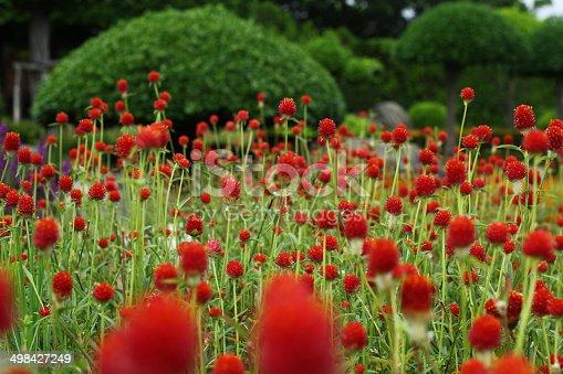 Globe amaranth, Gomphrena haageana 'Strawberry Fields'. Bright red are the bracts,