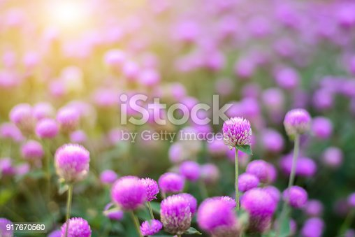 Globe Amaranth or Bachelor Button flowers in the park garden with sunlight