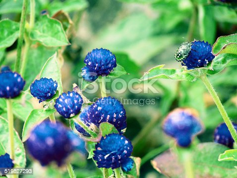 Gomphrena globosa, commonly known as Globe Amaranth or Bachelor Button