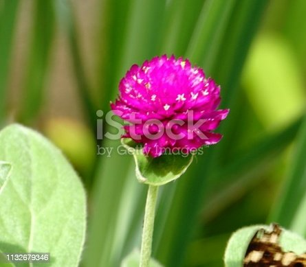 Globe amaranth is a tropical annual, originally from Asia, growing up to a height of 24