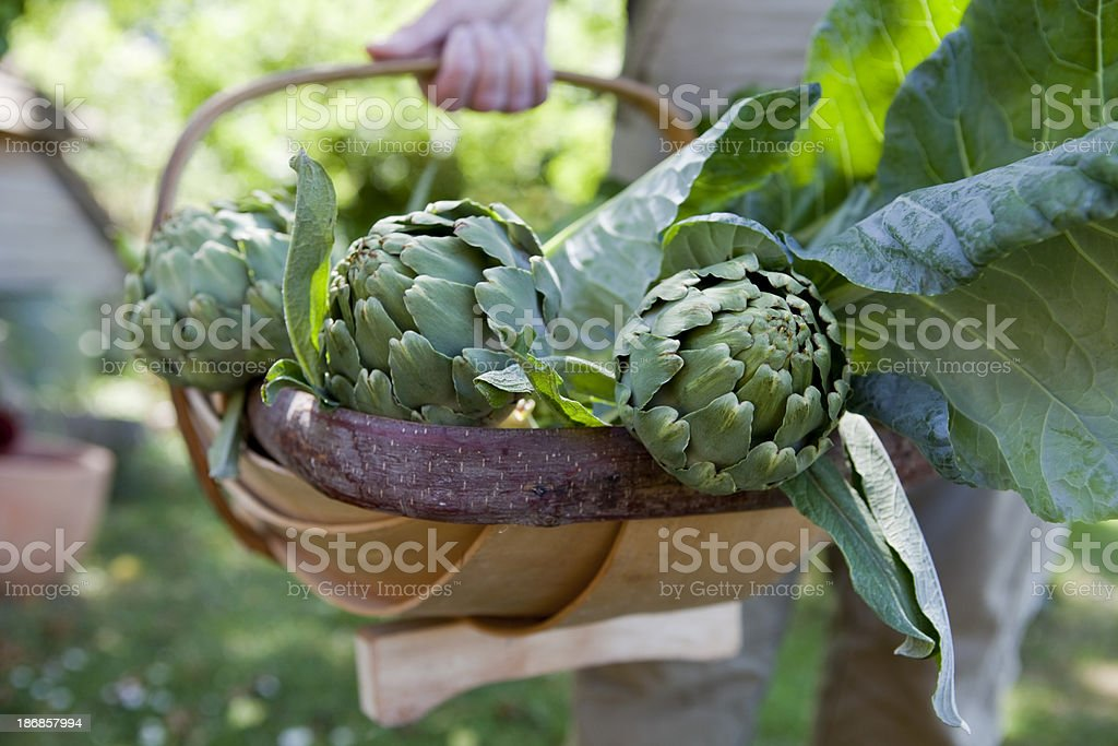 Globe Artichoke Harvest stock photo