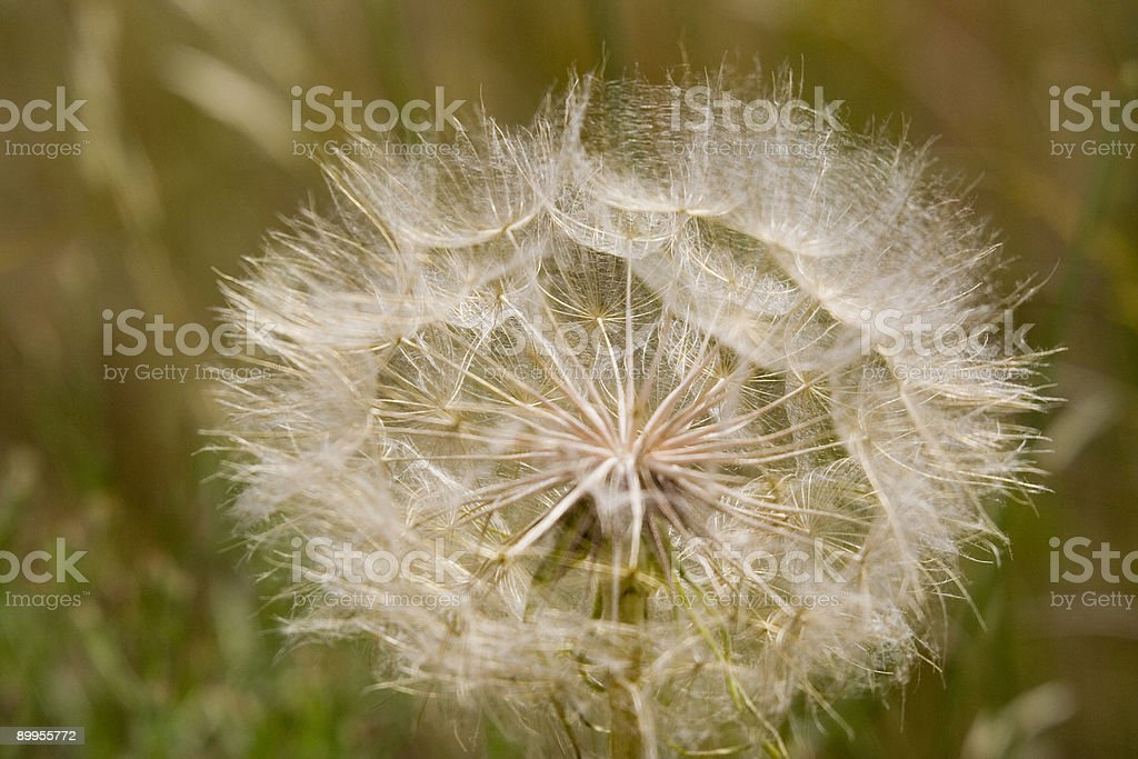 globe of a dandelion in the sun royalty-free stock photo