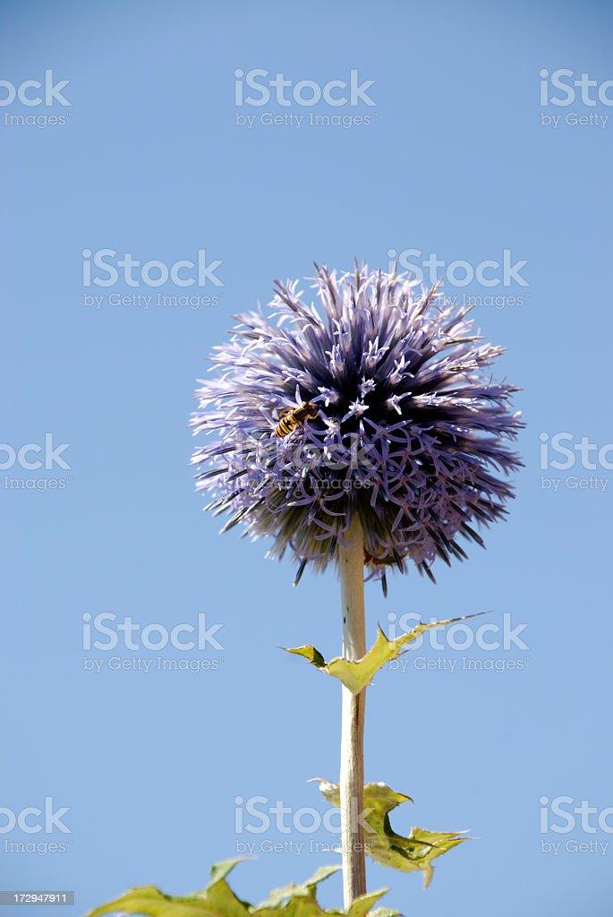 Globe thistle against blue sky royalty-free stock photo