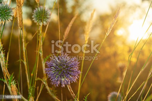 Single globe Thistle Echinops sphaerocephalus pointed head of a blue flower in the field at sunset in the sun. Blue spiky flower head of Echinops or plants. Globe Thistle close-up.