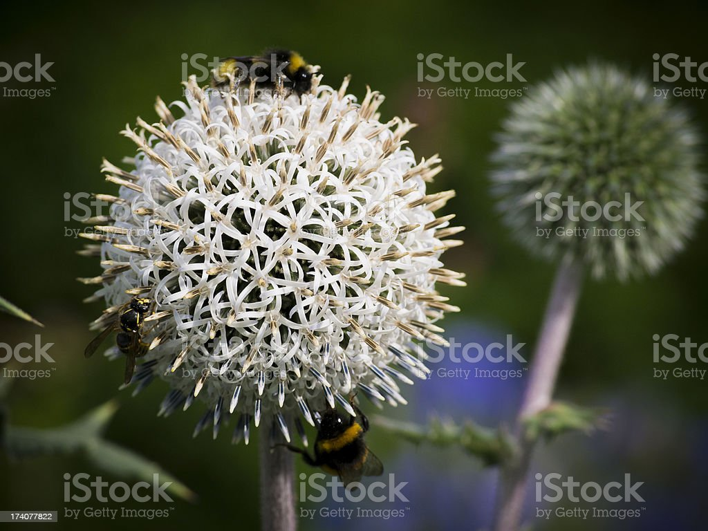 Globe Thistle Flowers with Bees (Echinops bannaticus) royalty-free stock photo