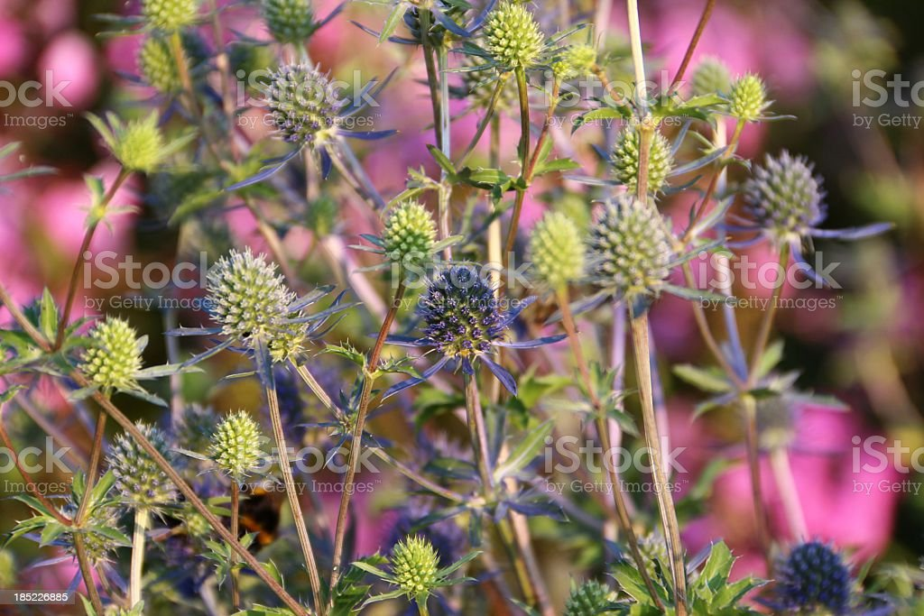 Globe thistles - 'Echinops ritro' royalty-free stock photo