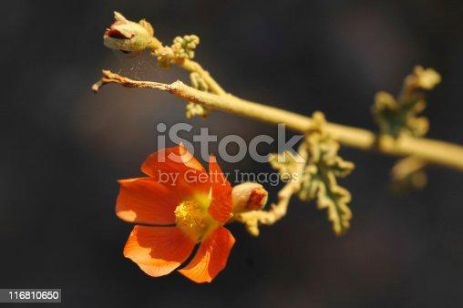 Orange globemallow flower,