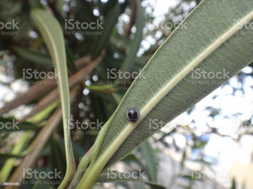 Globe-marked lady beetle in oleander plant stock photo