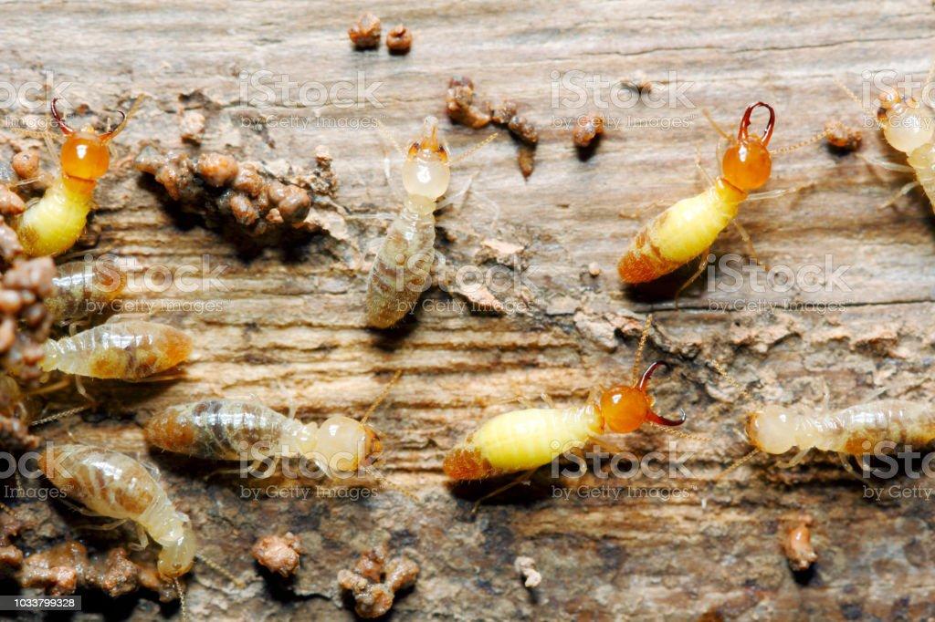 Globitermes sulphureus Closeup worker and soldier termites (Globitermes sulphureus) on wood structure background (taken from Thailand, Southeast Asia) Animal Stock Photo