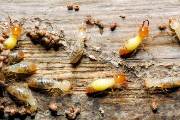 Globitermes sulphureus Closeup worker and soldier termites (Globitermes sulphureus) on wood structure background (taken from Thailand, Southeast Asia) isoptera stock pictures, royalty-free photos & images