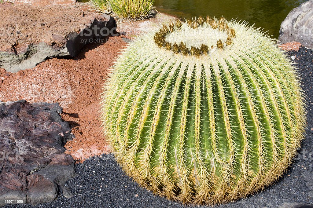 Globose Cactus royalty-free stock photo