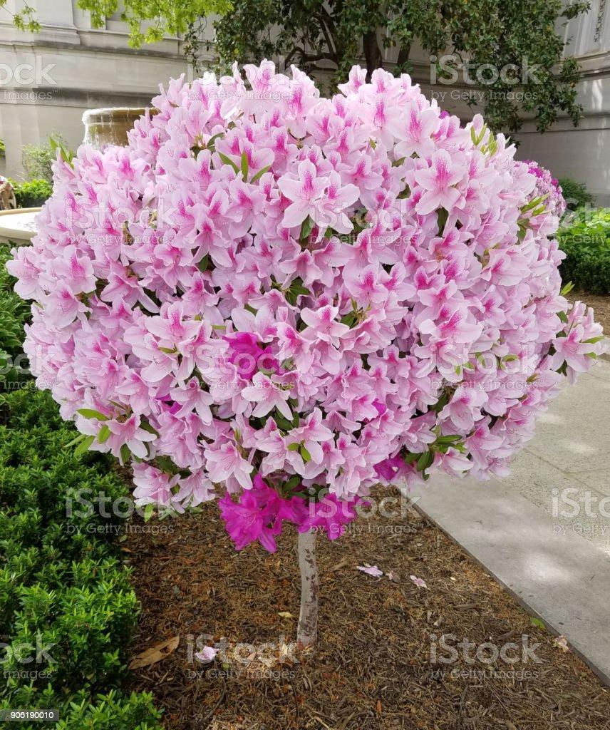 Globular lily flower tree in bloom stock photo