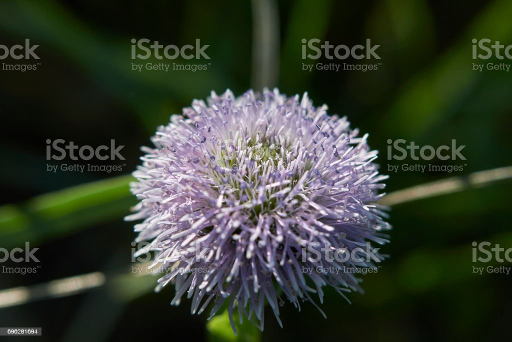 Globularia Punctata stock photo