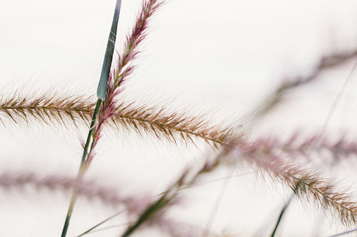 gloden dry Grass spikelets in soft focus in the setting sun close-up. Natural background. - Image
