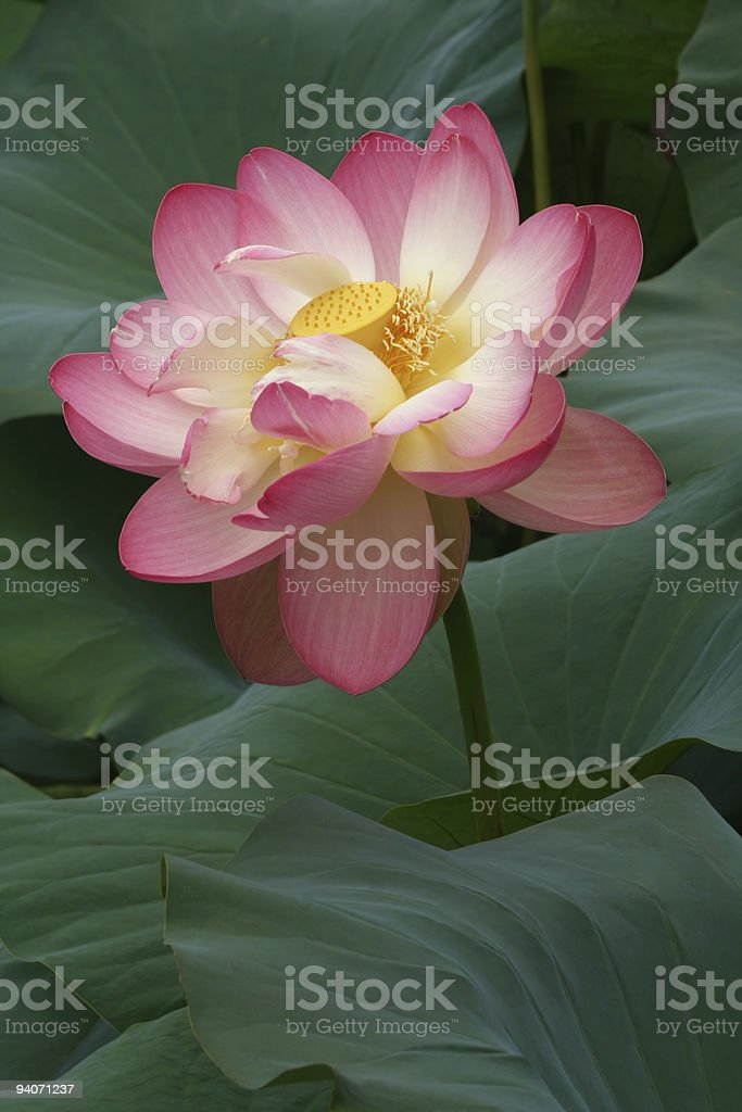 Glorious Lotus Blossom royalty-free stock photo