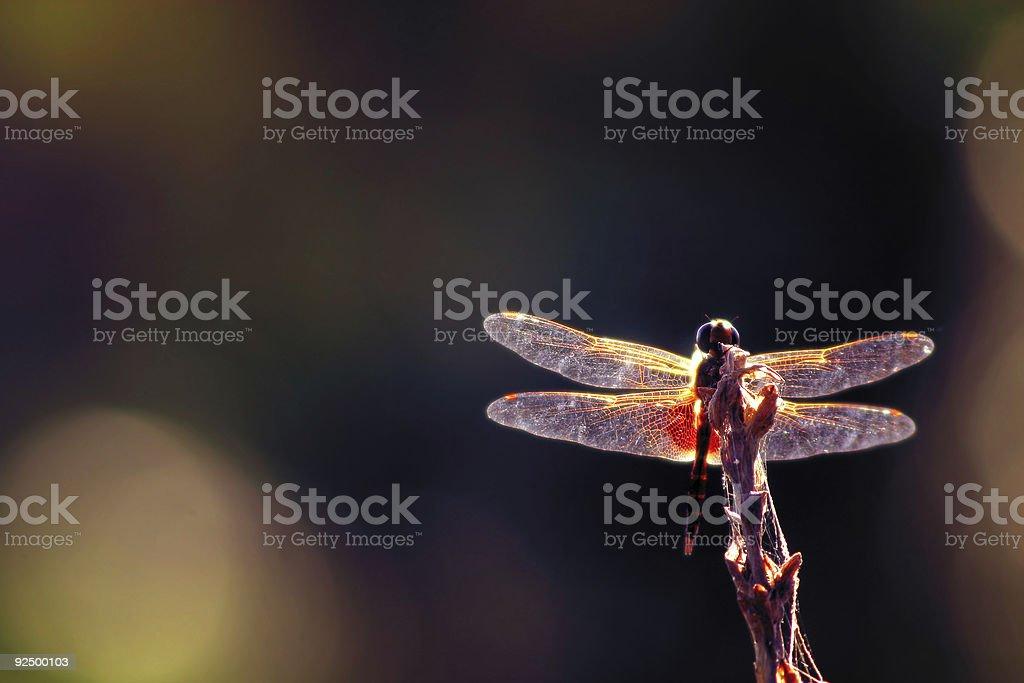 Glorious Mayfly stock photo
