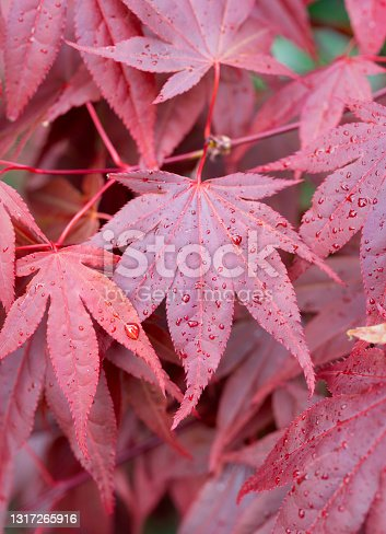 Springtime sunshine falls on the leaves of a red acer.