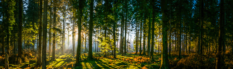 Early morning sunlight filtering through the pine needles of a green forest to illuminate the soft mossy undergrowth in this idyllic woodland glade. ProPhoto RGB profile for maximum color fidelity and gamut.