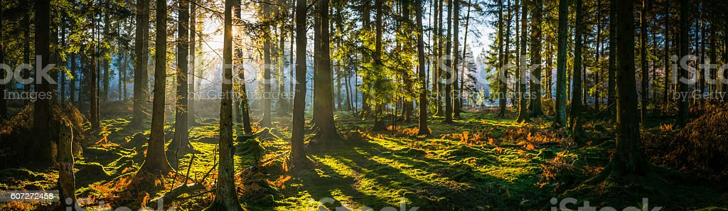 Glorious sunrise shining through golden fern forest idyllic woodland panorama stock photo