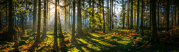 Glorious sunrise shining through golden fern forest idyllic woodland panorama Early morning sunlight filtering through the pine needles of a green forest to illuminate the soft mossy undergrowth in this idyllic woodland glade. glade stock pictures, royalty-free photos & images