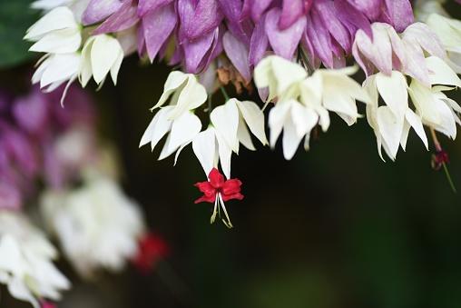 Glory bower (Bleeding heart vine) flowers. Lamiaceae vine shrub.