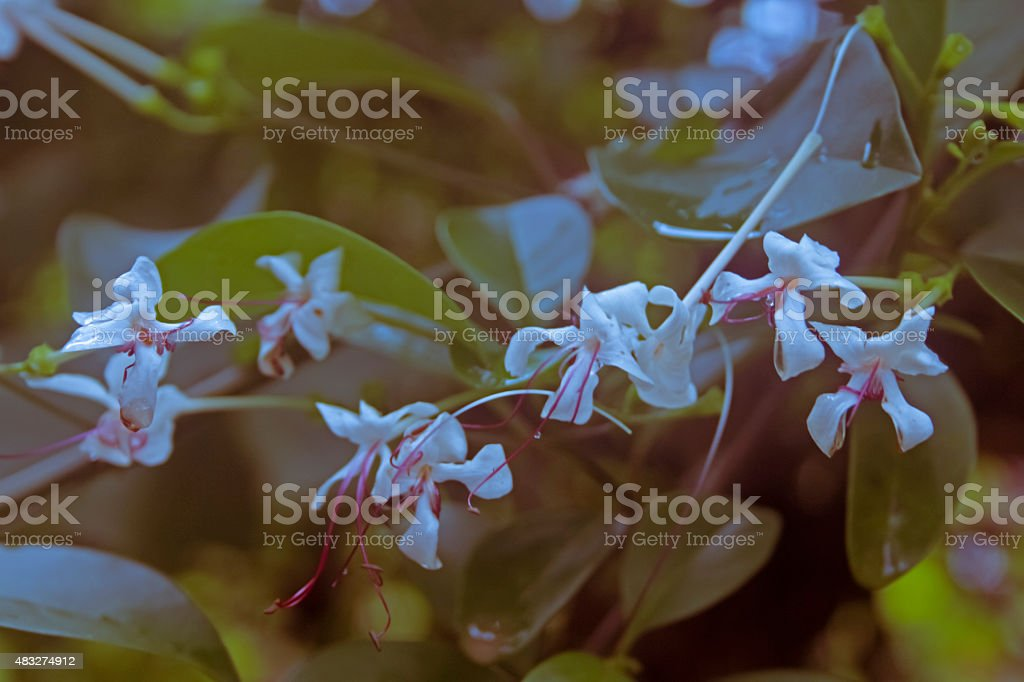 Glory Bower, Indian privet, Seaside clerodendrum, Wild Jasmine, stock photo