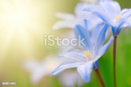 Glory-of-the-snow, Scilla luciliae, flowers in early spring