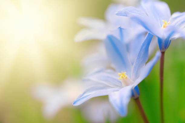 Glory-of-the-snow, Scilla luciliae, flowers in early spring stock photo