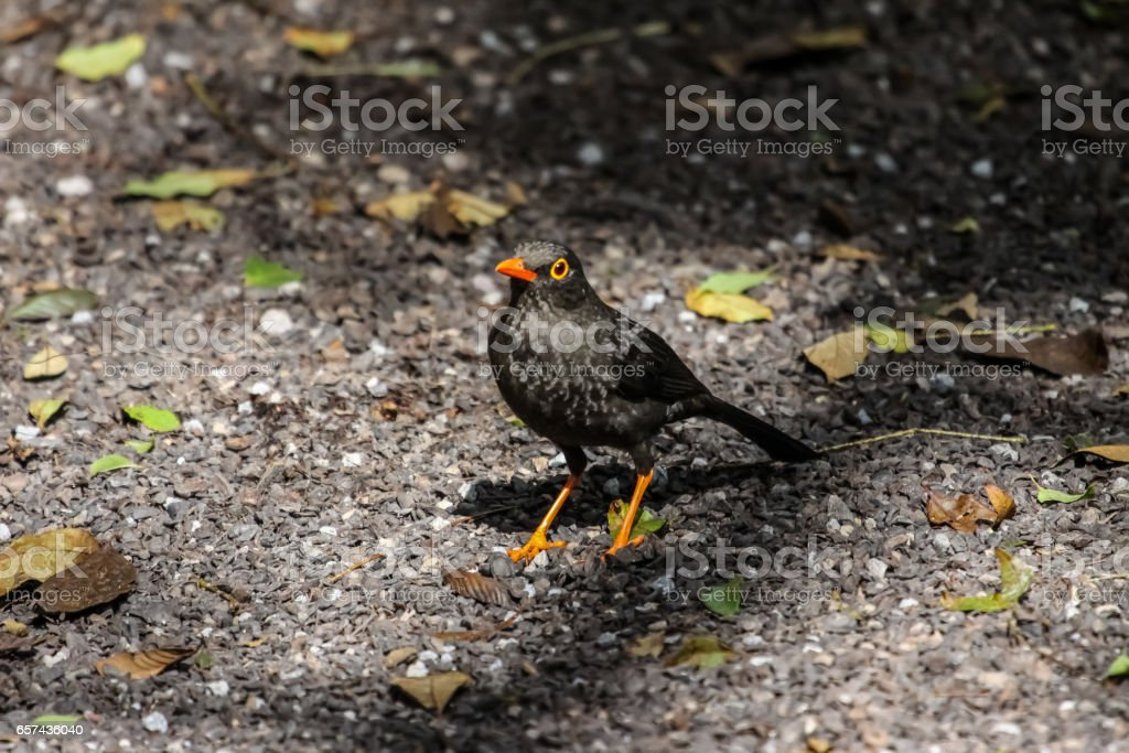 Glossy backed thrush with shadow on the ground stock photo