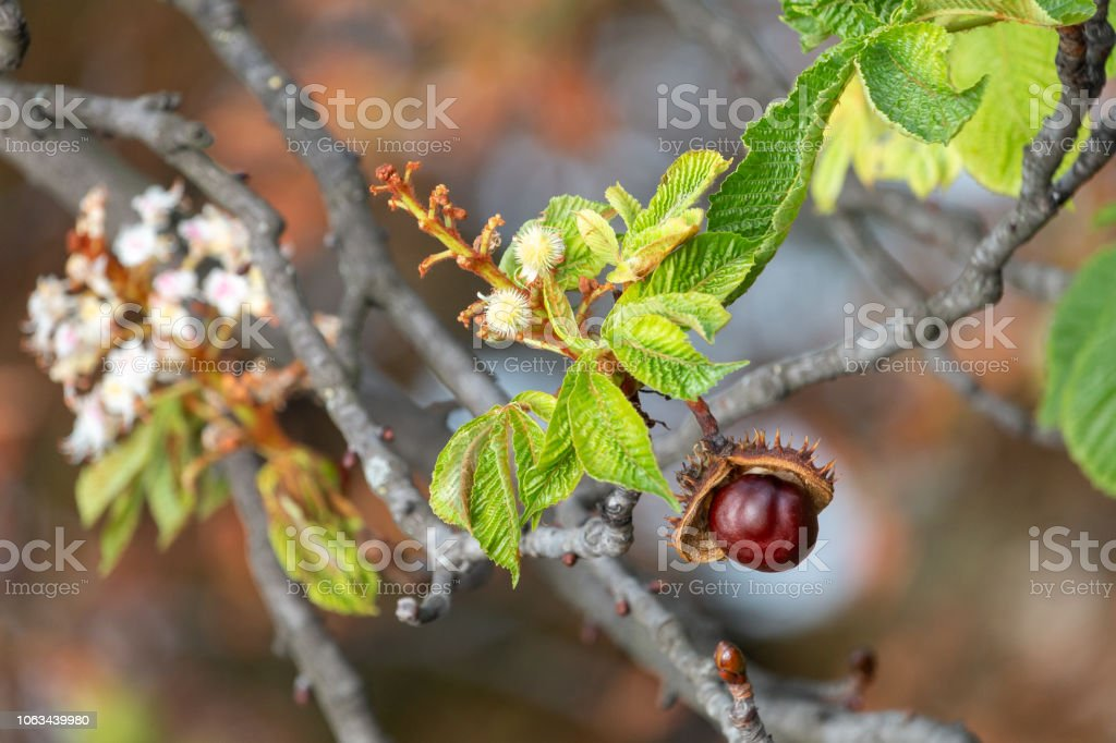 Glossy brown conker and  inflorescence of horse-chestnut Open spiky shell with nut-like seed of conker tree (aesculus hippocastanum). Autumn Stock Photo