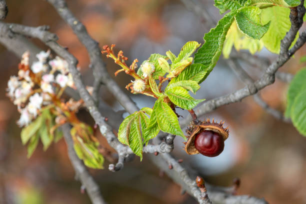 Glossy brown conker and  inflorescence of horse-chestnut stock photo