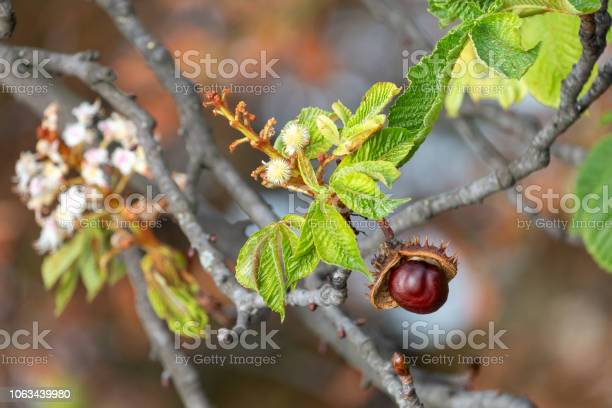 Glossy Brown Conker And Inflorescence Of Horsechestnut Stock Photo - Download Image Now