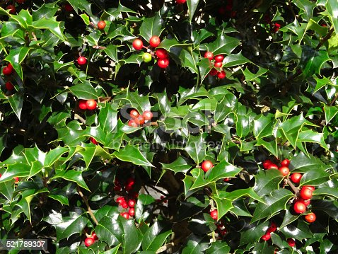 Photo showing a dense European holly bush with glossy green prickly leaves and clusters of seasonal red berries / fruit.  The fresh shoots of holly are about to be pruned to make natural Christmas wreaths, along with other evergreen foliage and dried pine cones.