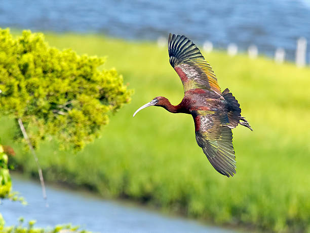 Glossy Ibis in Flight stock photo