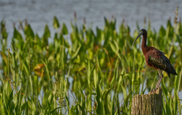Glossy Ibis in Orlando Wetlands Park in Central Florida stock photo