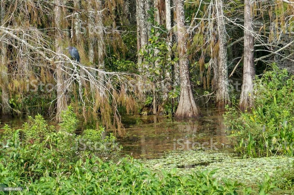 glossy ibis in tree stock photo