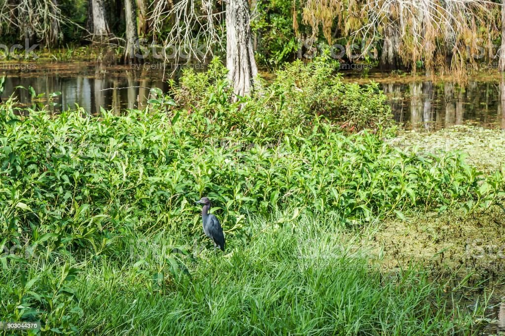 glossy ibis wading stock photo