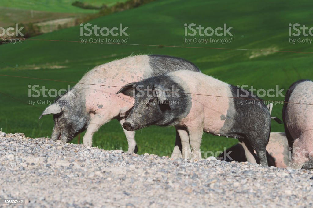 Gloucester Old Spot Cross Pig stock photo