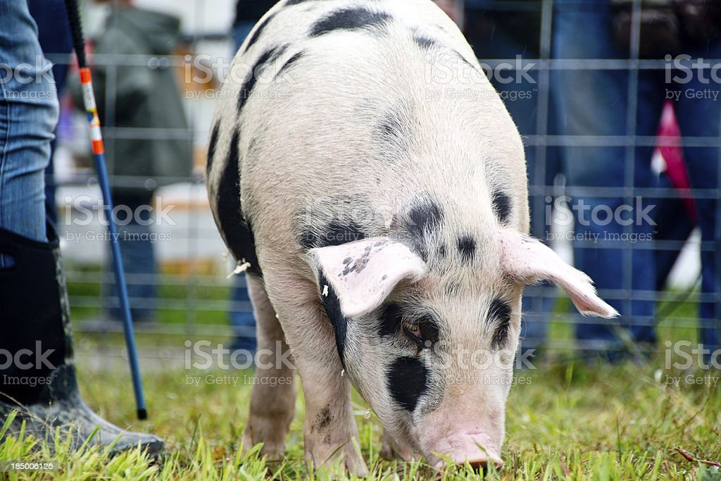 Gloucester Old Spot hog stock photo