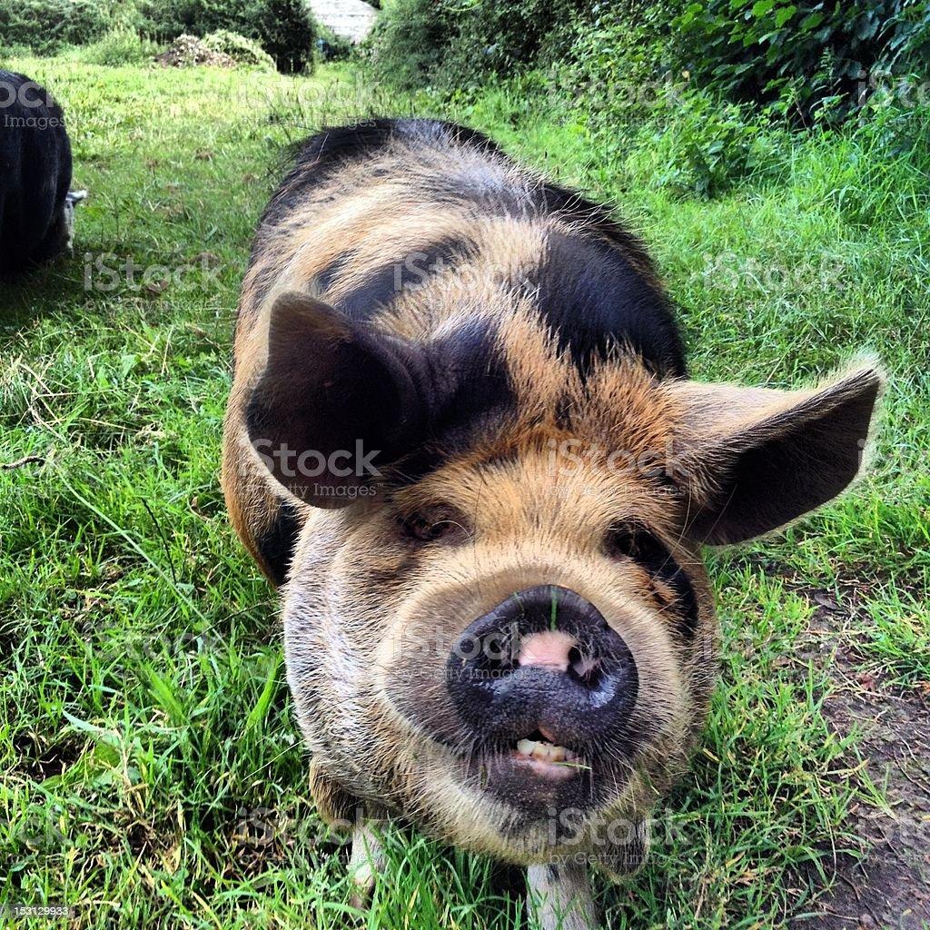 Gloucester Old Spot Pig close up stock photo
