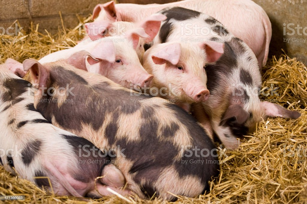 Gloucester Old Spot piglets stock photo