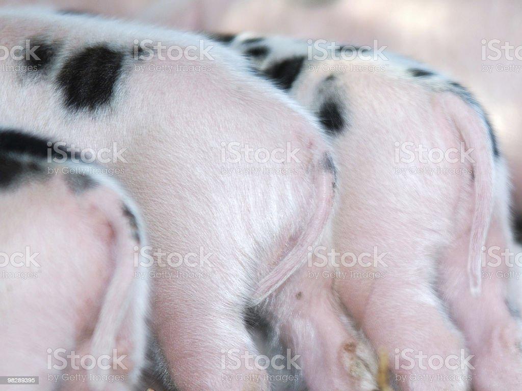 Gloucester Old Spot Piglets royalty-free stock photo