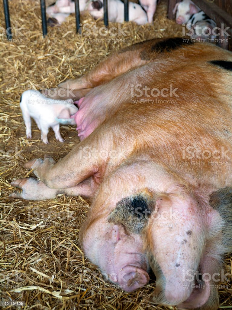 Gloucester Old Spot sow and her litter stock photo